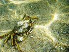 Krabbe im Meer