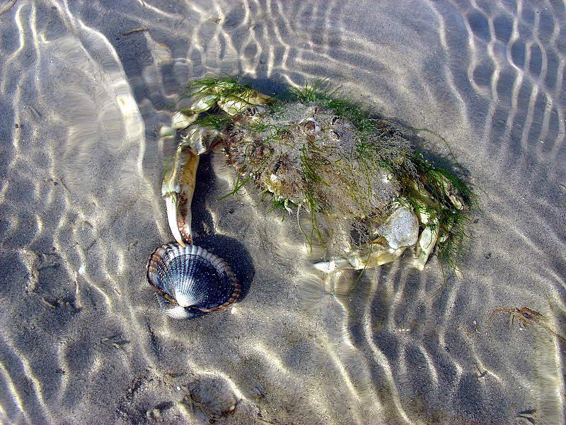 Krabbe mit Muschel.   Mit Algen getarnt auf Muscheljagd   (Büsum)