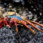 Krabbenschönheit