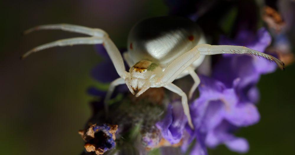 Krabbenspinne an Lavendel