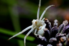 Krabbenspinne an Lavendel (II)