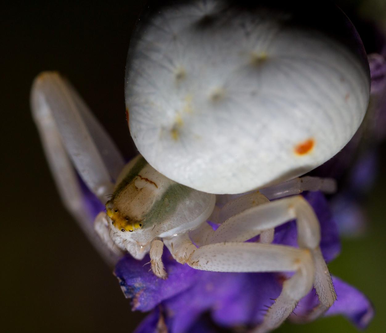 Krabbenspinne an Lavendel (III)