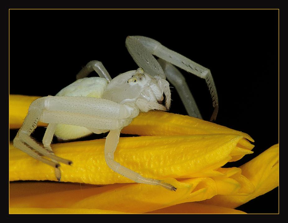 Krabbenspinne auf Ringelblume.
