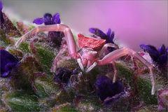 Krabbenspinne im Lavendel