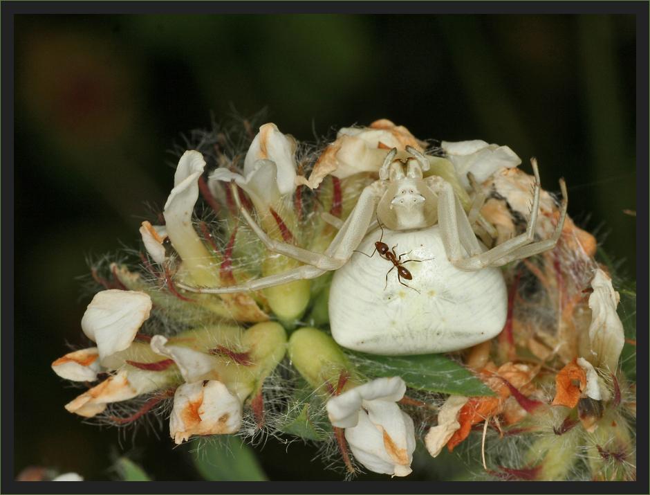 Krabbenspinne mit Ameise