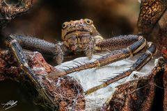 Krabbenspinne mit Kokon