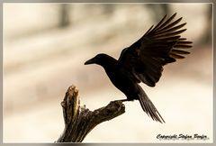 Krähe im Anflug