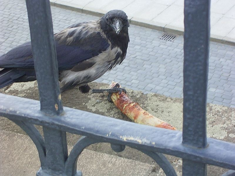 Krähe mit Bratwurst2