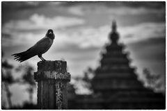 Krähe mit Tempel in Indien