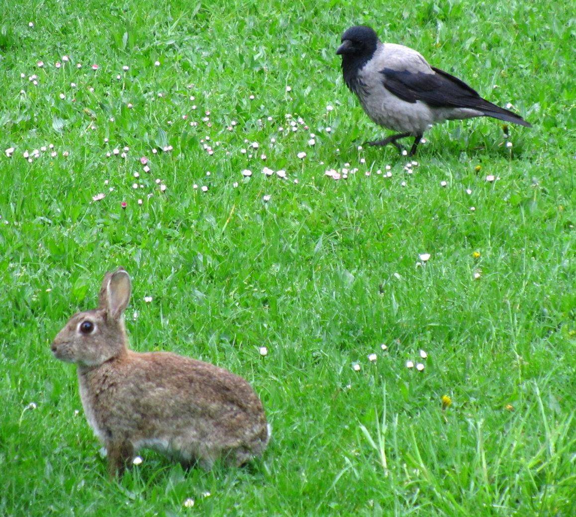 Krähe und Wildkaninchen