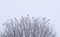 Krähen auf dem Baum