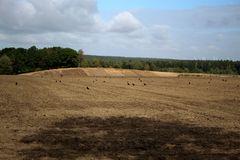 Krähen besiedeln das frischgepflügte Feld