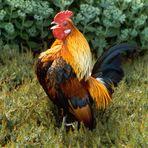 Krähender Hahn vor der fetten Henne (eine Gruppe von dickblättrigen Pflanzen )