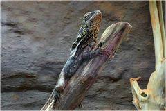 Kragenechse im Zoo Neuwied (Exotarium)