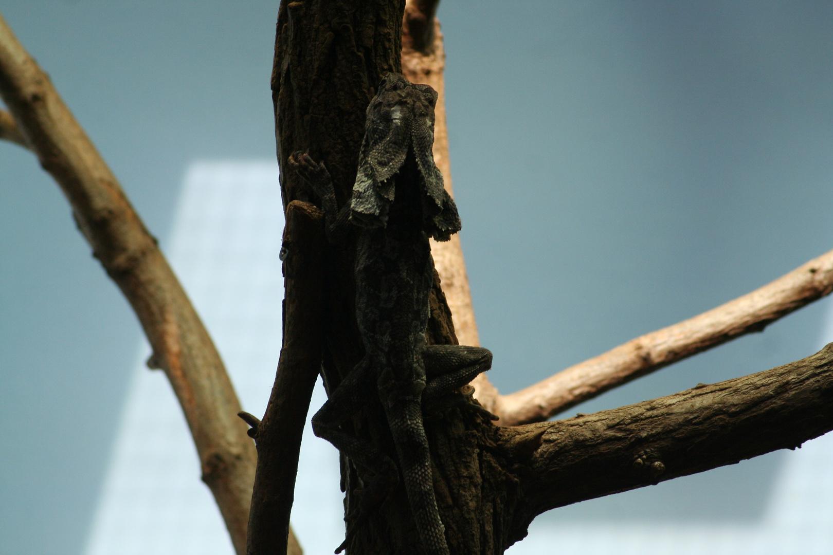 Kragenhalsechse