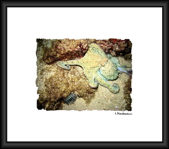 Krake - Octopus vulgaris