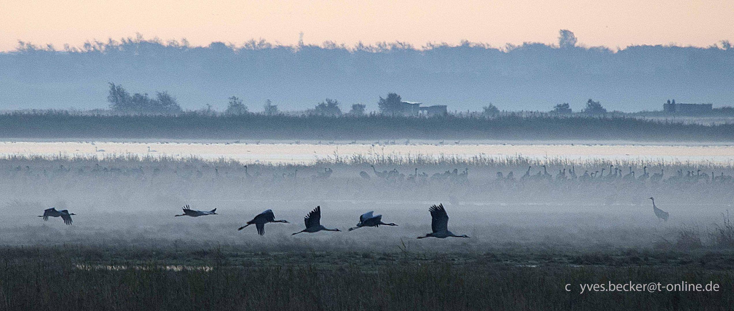 Kraniche am Darss - Morgenflug 2