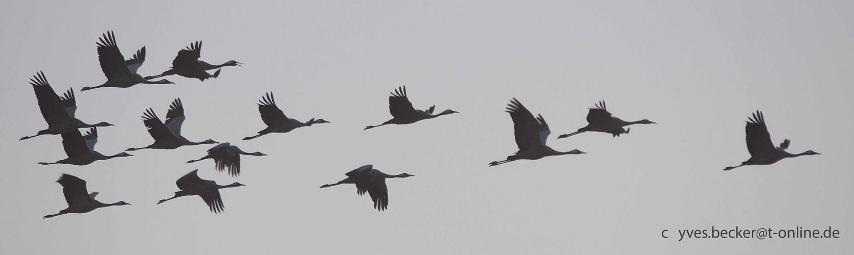 Kraniche am Darss - Morgenflug 4
