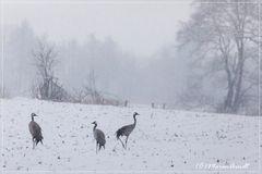 Kraniche im Schnee