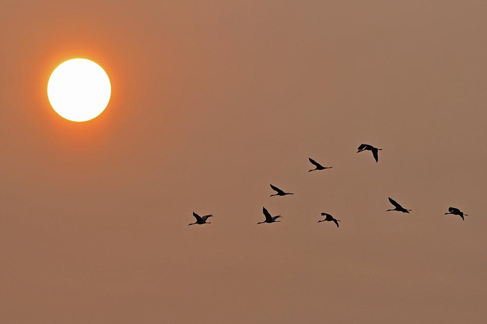 Kraniche: Unter der Sonne entlang