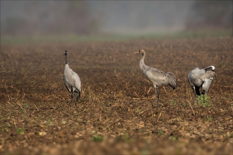 Kranichfamilie am Morgen