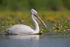 Krauskopfpelikan / Dalmatian pelican