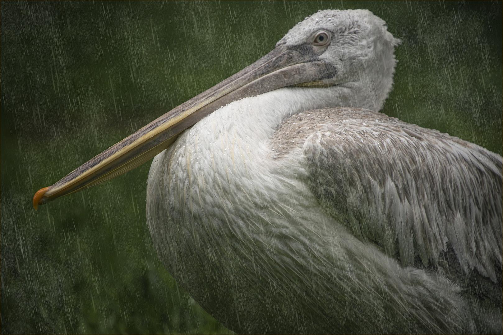 Krauskopfpelikan (Pelecanus crispus)