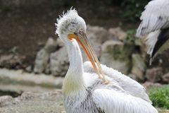 Krauskopfpelikan. (Pelecanus crispus), Parc Zoologique & Botanique de Mulhouse
