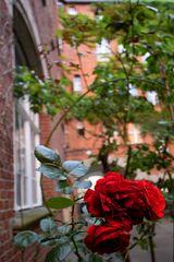Kreuzberger Höfe - Rose