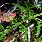 Kreuzblumen-Bunteulchen (Phytometra viridaria). *