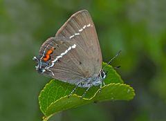 Kreuzdorn-Zipfelfalter (Satyrium spini) - Thècle des nerpruns.