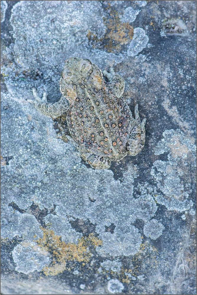 ~ Kreuzkröte auf Wanderschaft ~