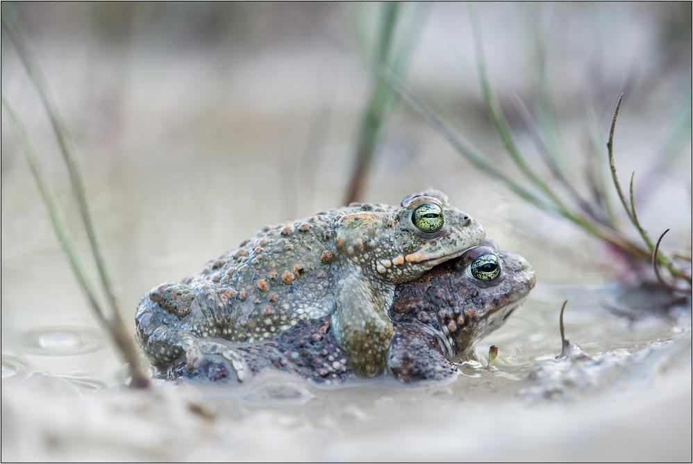~ Kreuzkrötenliebe ~