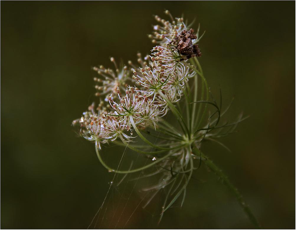 Kreuzspinne auf Wilder Möhre