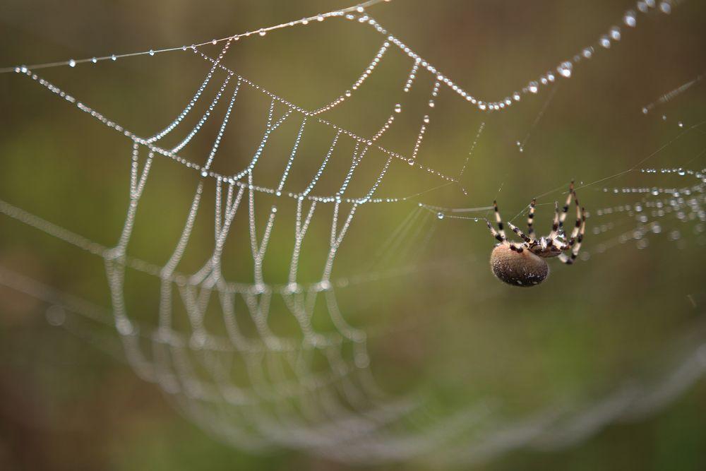 Kreuzspinne Netzbau