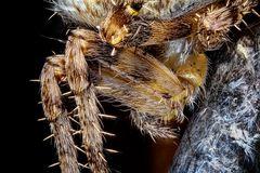 Kreuzspinne fängt Motte