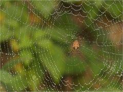 Kreuzspinne mit Netz