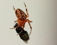Kreuzspinne verspeist eine Fliege