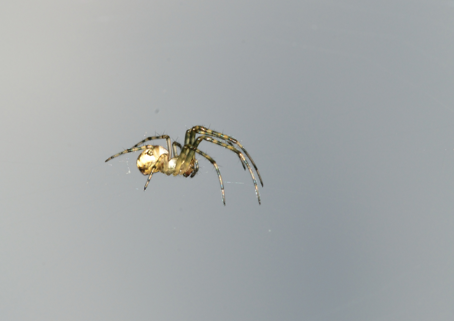 KreuzspinnenNachwuchs