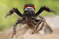 Kreuzspringspinnen Männchen