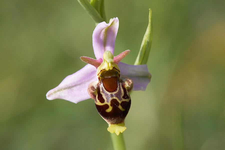 Kreuzung zwischen Hummel- und Bienenragwurz