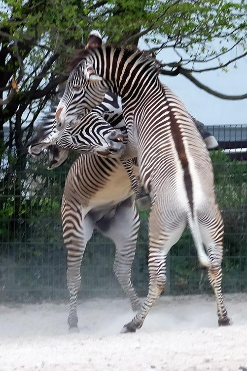 Krieg der Zebrastreifen