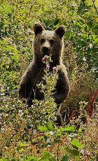 Kroatien 2009 Braunbär