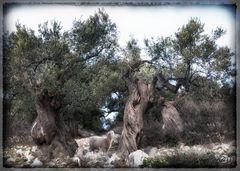 Kroatien ##29 Olivenbäume