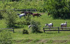 Kroatien - Pferde auf der Ranch 07