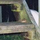 Kröte auf Treppe