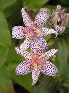 Krötenlilie 2