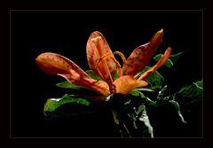 Krötenlilie