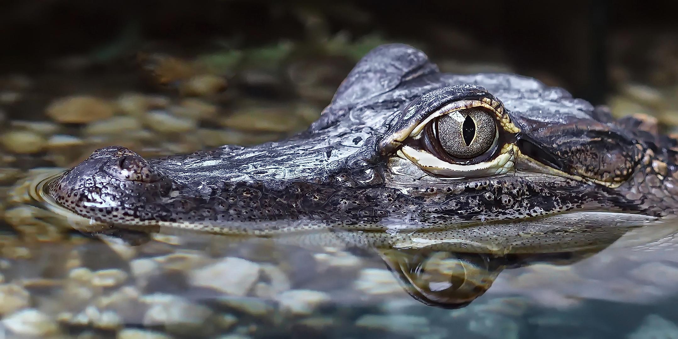 Krokodil 001