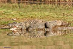 Krokodil am Chambal River